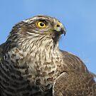 Hawk by branko stanic