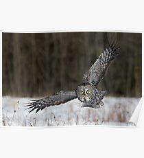 Great Gray Owl Intensity. Poster