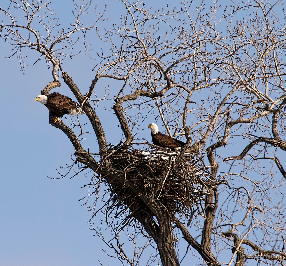 Nesting Pair of American Bald Eagles 1 by Thomas Young