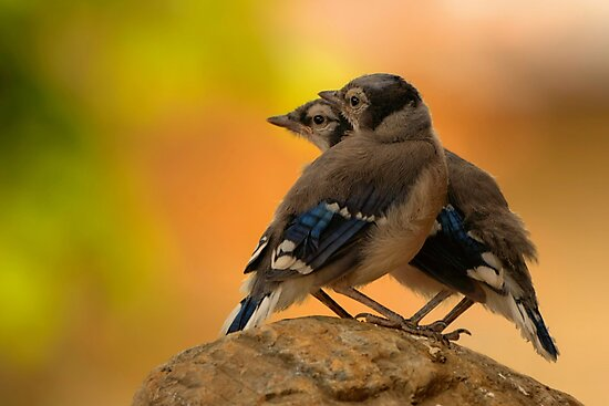 Baby Jays by James Anderson