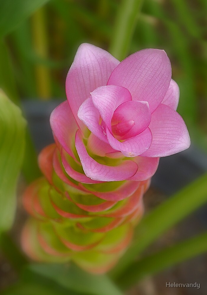 Flowering ginger by Helenvandy