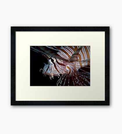 Young Lionfish Framed Print
