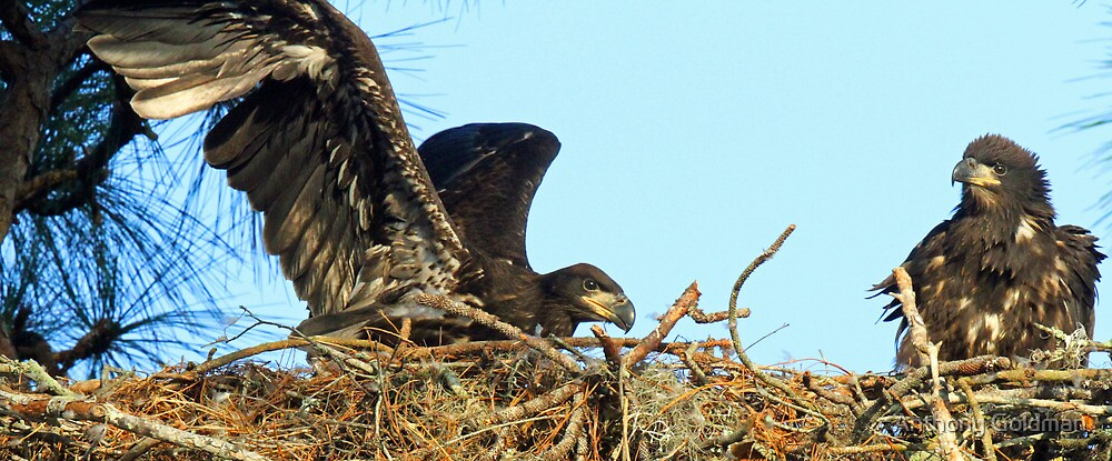 The anclote eaglets-we are now 7 weeks old! by Anthony Goldman