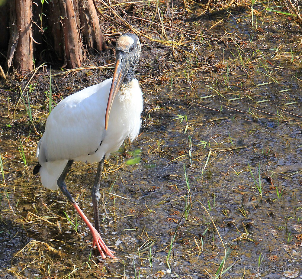 Wood Stork in a Florida Swamp by Rosalie Scanlon