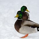 Two Ducks! by vasu