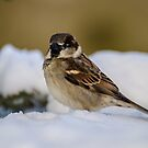 Sparrow on ice! by vasu