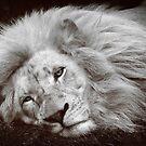 Sleepy Lion by DaveBassett