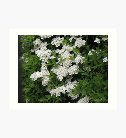 Pretty White Spiraea Blossoms  Kunstdruck