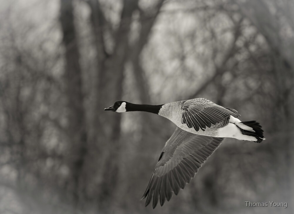 Flying Canadian Goose in Black and White by Thomas Young
