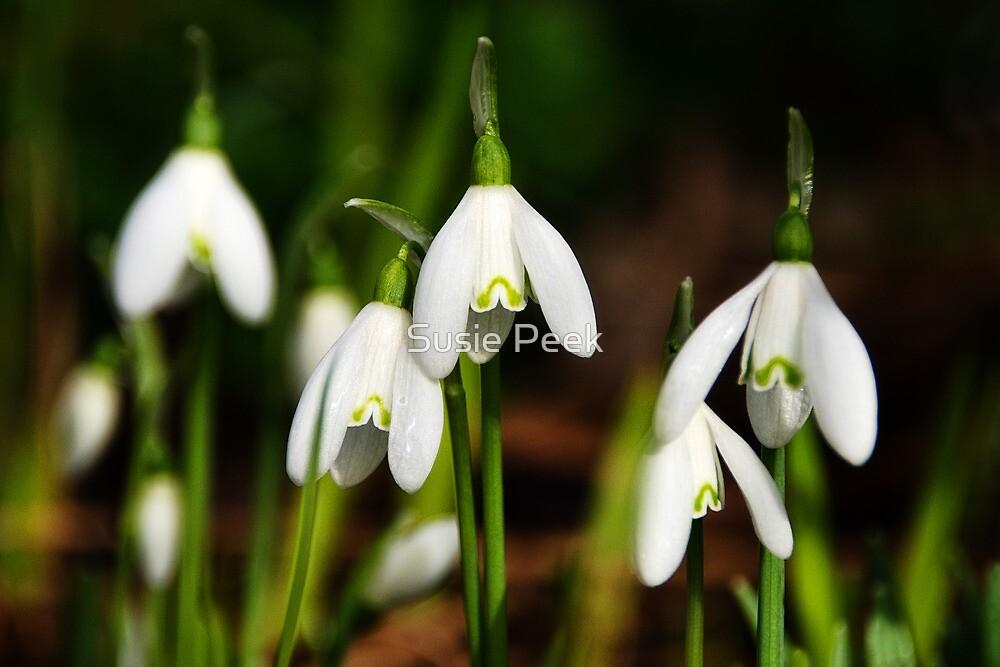 Snowdrops by Susie Peek