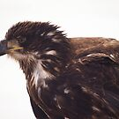 Juvenile bald eagle by Jean Knowles