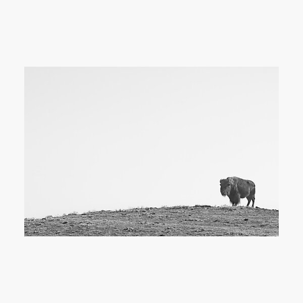 Bison On a Hill BW Photographic Print