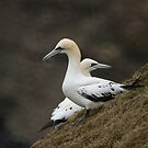 We don't see eye to eye -- Northern Gannets by Jean Knowles