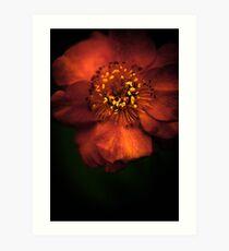 Blood Orange Anemone Art Print
