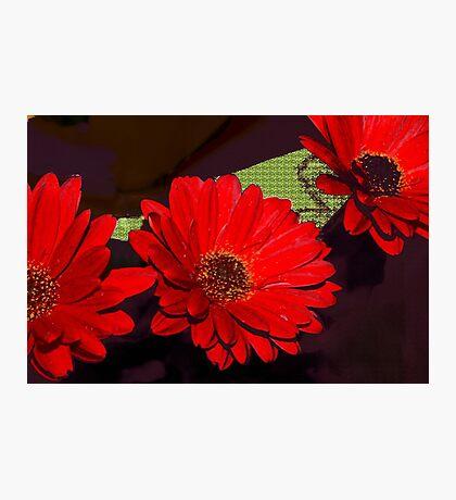 Red gerbera daisies Photographic Print