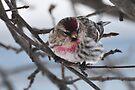 Common Redpoll - Male by Lynda   McDonald