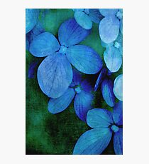 Hydrangea Blues Photographic Print