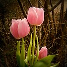 Pink Tulips VRS2 by vivendulies