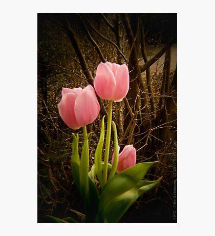 Pink Tulips VRS2 Photographic Print