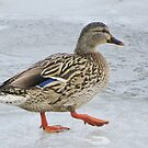 Duck On Ice by lorilee