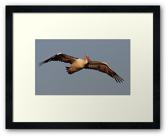 """Sunset Pelican"" by jonxiv"