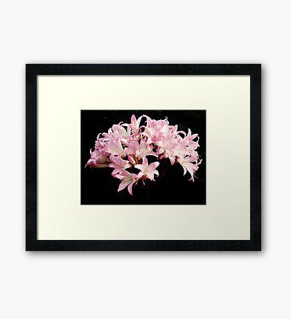 Jersey Lilies Framed Print