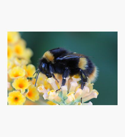 More of the bumble bee  Photographic Print