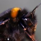Not by the hair on my chinny ,chin,chin said this bumblebee by Elaine Game
