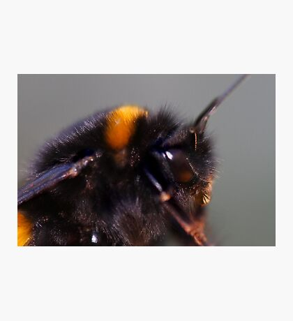 Not by the hair on my chinny ,chin,chin said this bumblebee Photographic Print