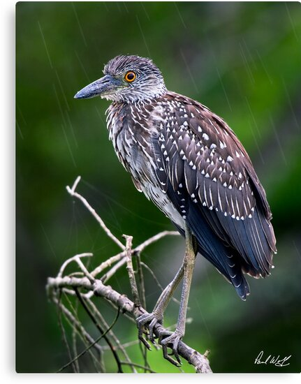 Juvenile in the Rain - Natural Version by Paul Wolf