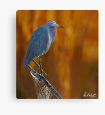 Little Blue and Web Canvas Print