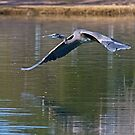 021613 Great Blue Heron by Marvin Collins