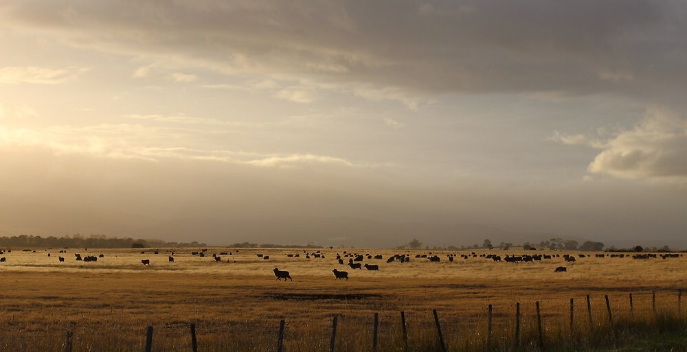 sheep in paddock - early morning by gaylene