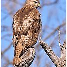 Hawk Closeup 2013 by Dennis Stewart