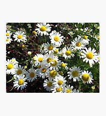 white camomiles Photographic Print