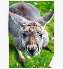 Face Off With A Kangaroo. Poster