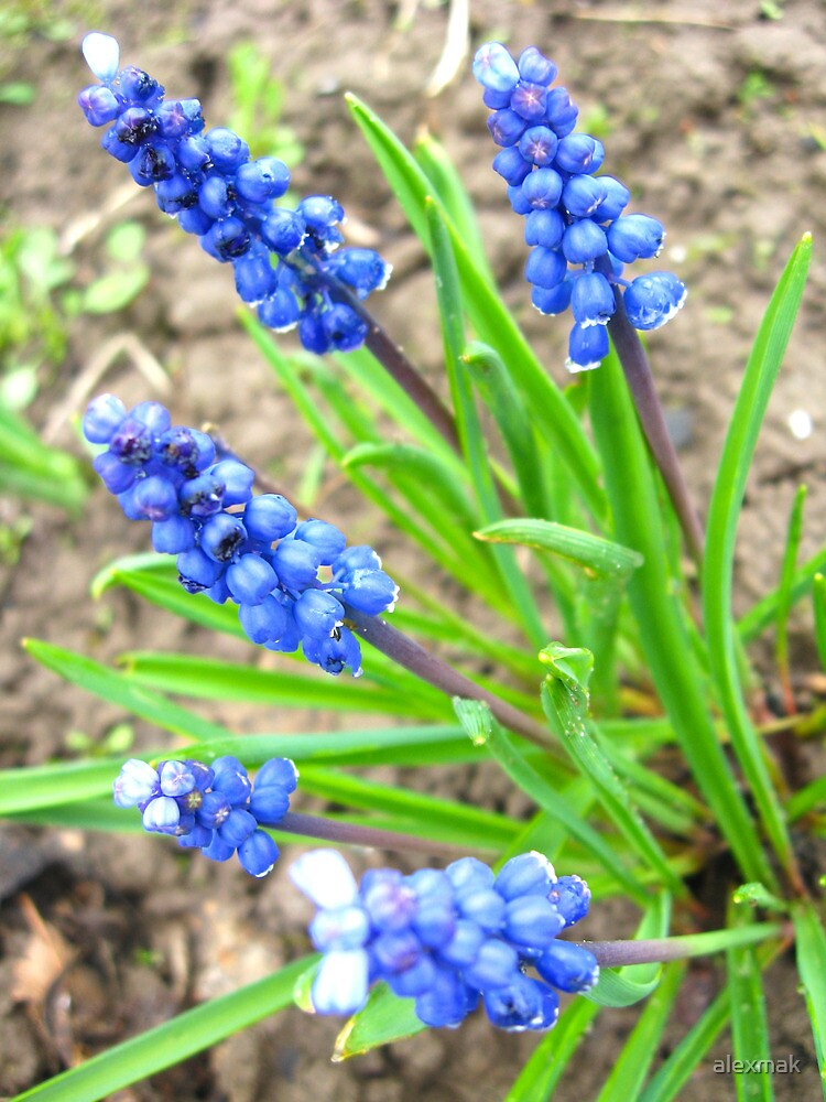 Some beautiful blue flowers of muscari by alexmak