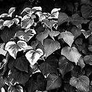Garden Ivy by teresalynwillis