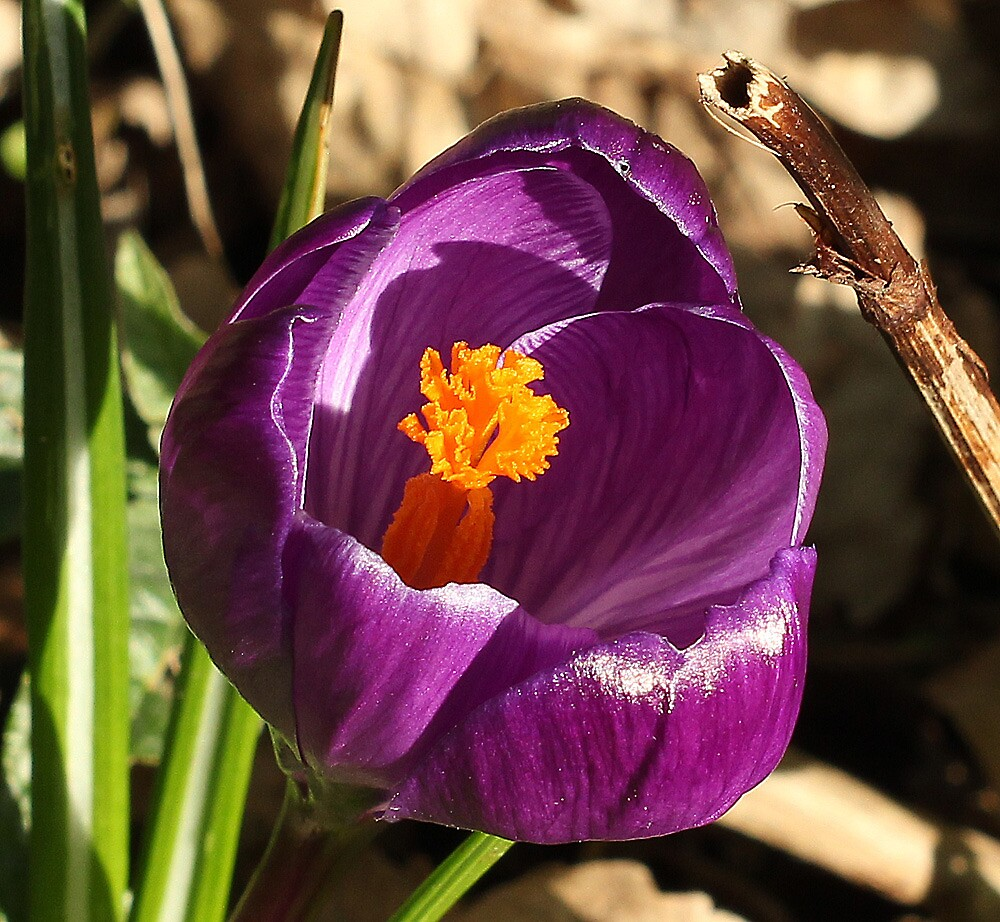 Purple crocus - signs of Spring by Rivendell7