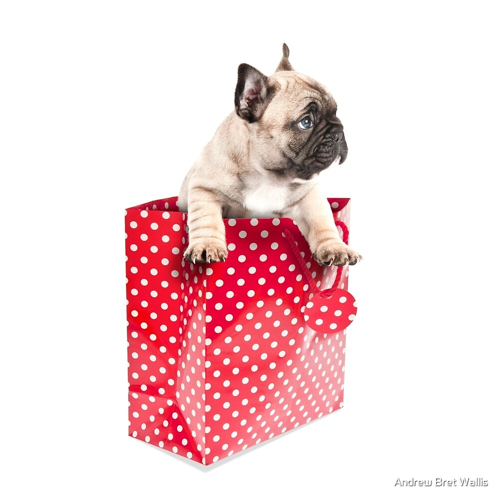 Gift Wrapped Frenchie by Andrew Bret Wallis