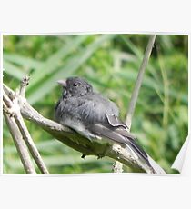 Slate Colored Junco Poster
