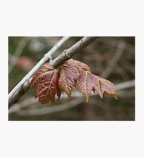 Spring maple Photographic Print