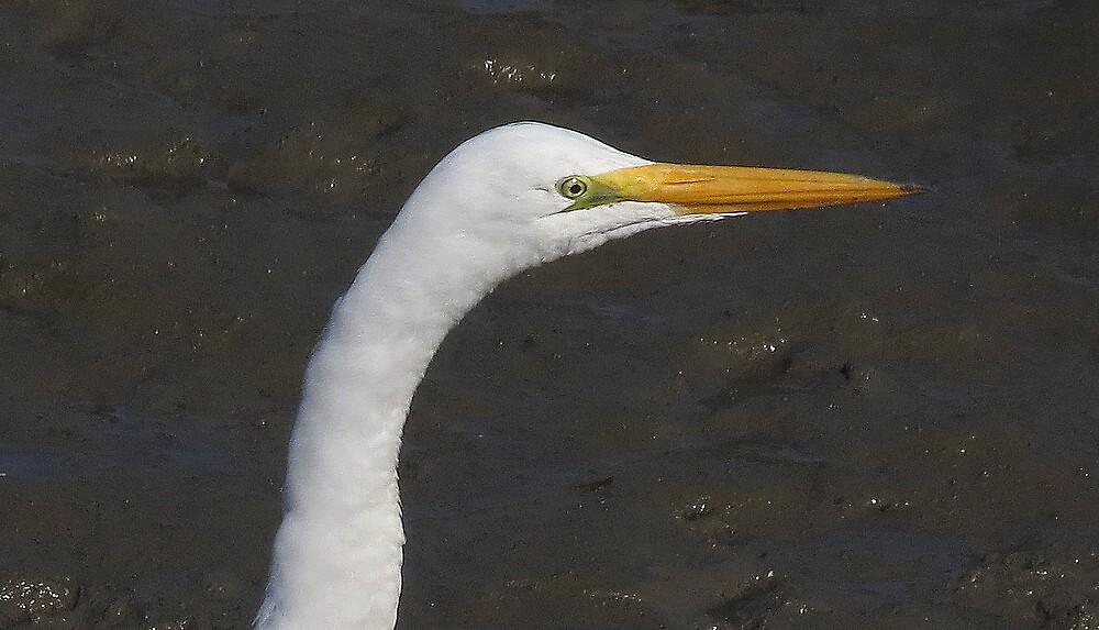 Great Egret eye by Alex Call