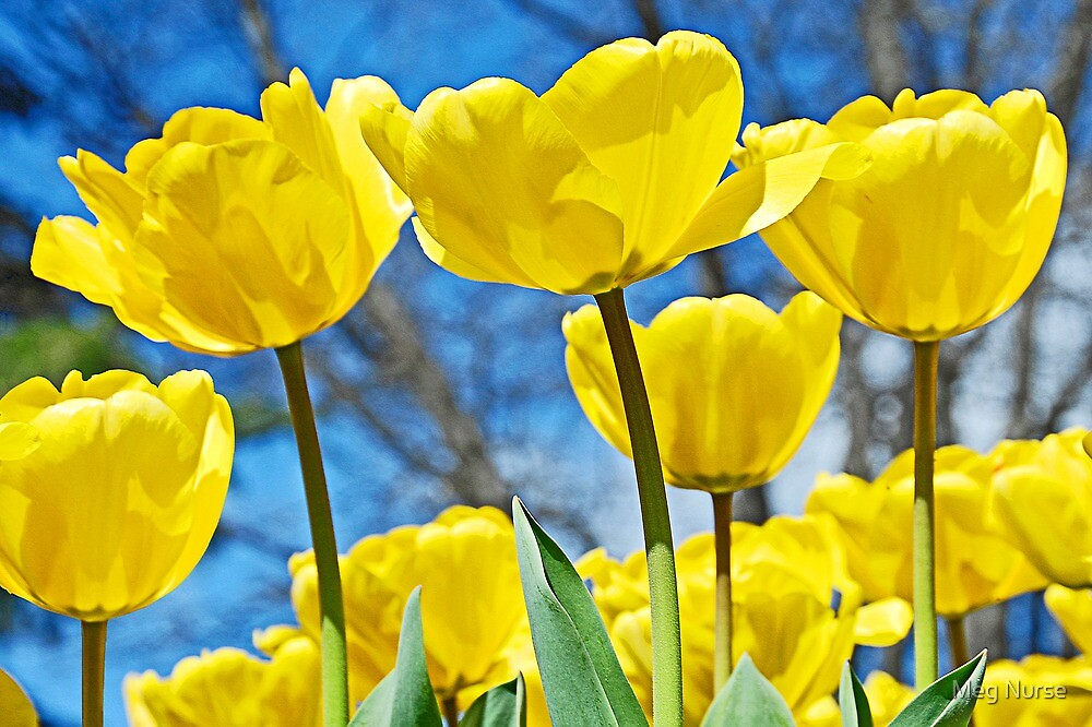 Yellow Tulips by megsphotos