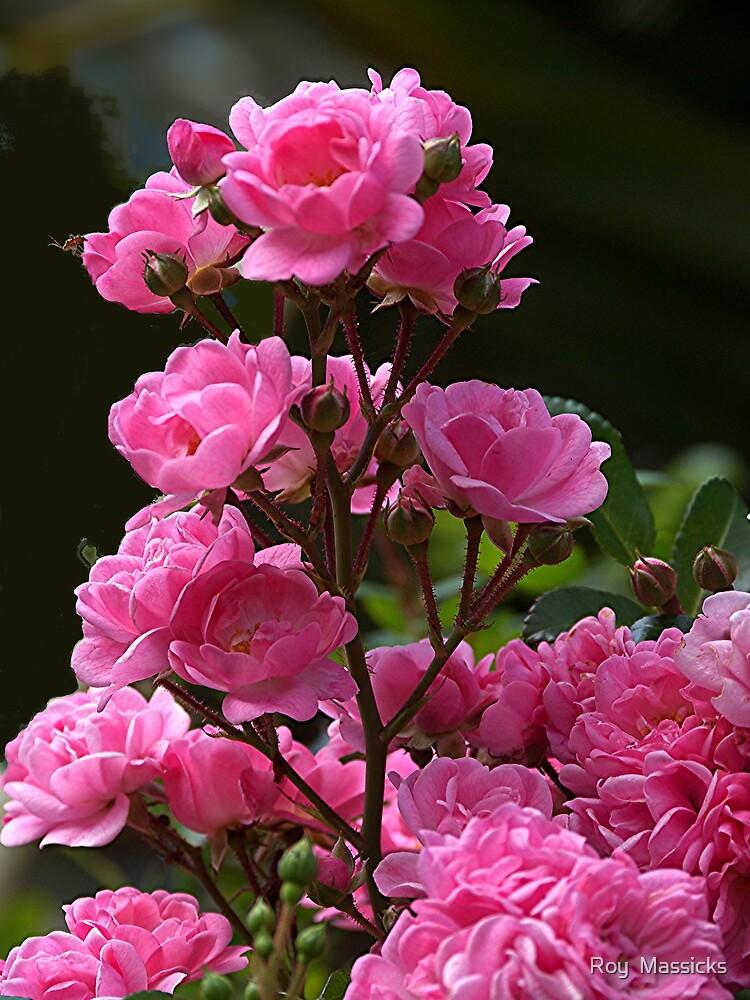 Hundred odd year old rose for Kala............! by Roy  Massicks