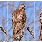 Juvenile Red-Tailed Hawk Profile Shots - 2013 by Dennis Stewart