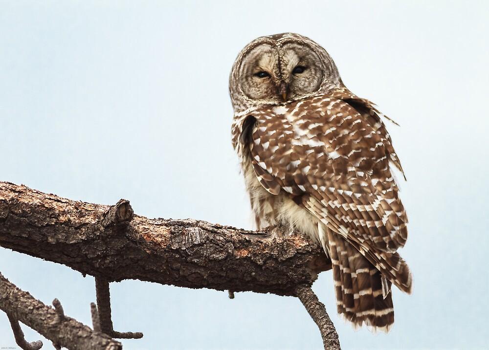 Barred Owl: Broken Bough by John Williams