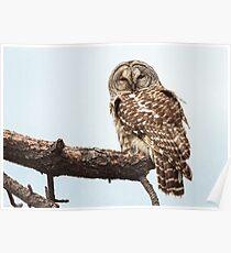 Barred Owl: Broken Bough Poster