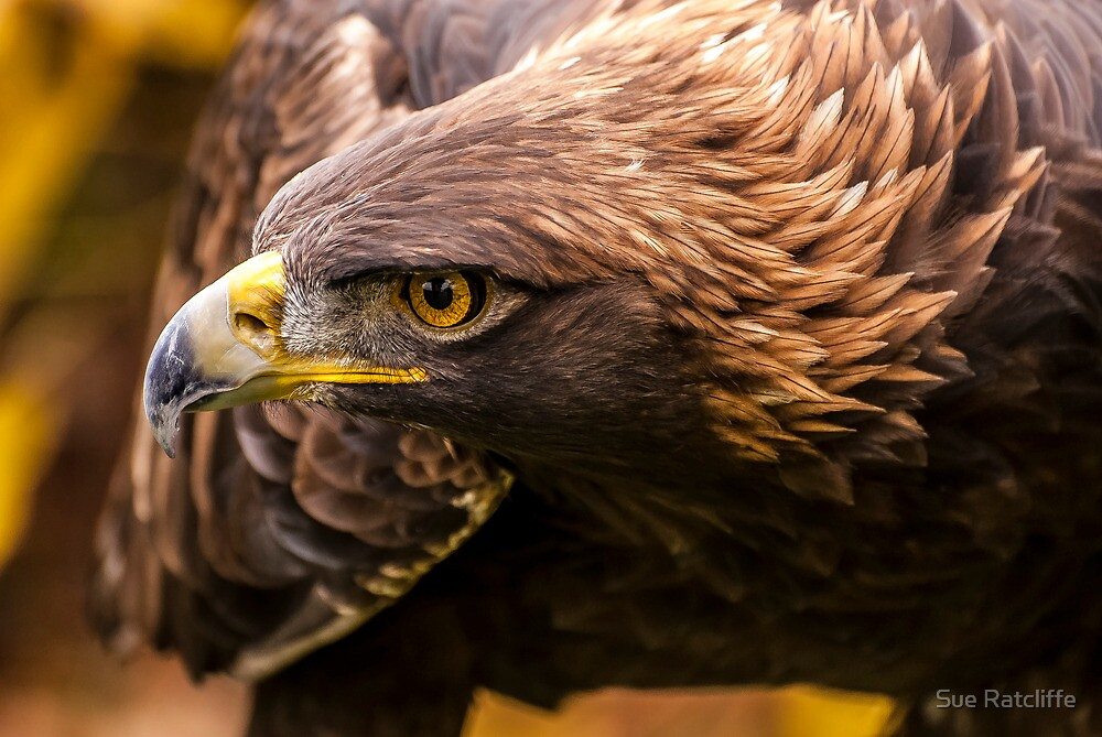 Golden Eagle 3 by Sue Ratcliffe