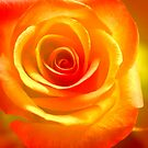glowing rose by lensbaby